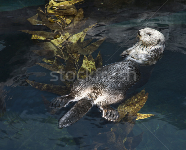 Otter swimming in aquarium. Stock photo © iofoto