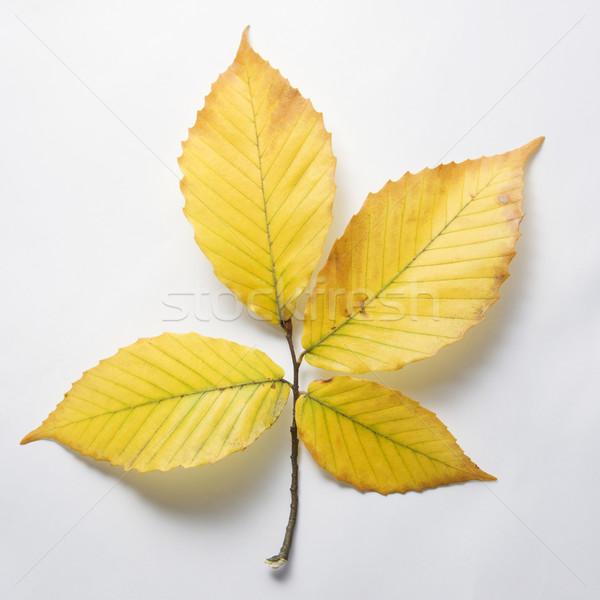 Beach tree leaves. Stock photo © iofoto
