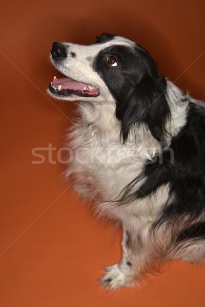 Сток-фото: черно · белые · собака · сидят · Бордер · колли · оранжевый