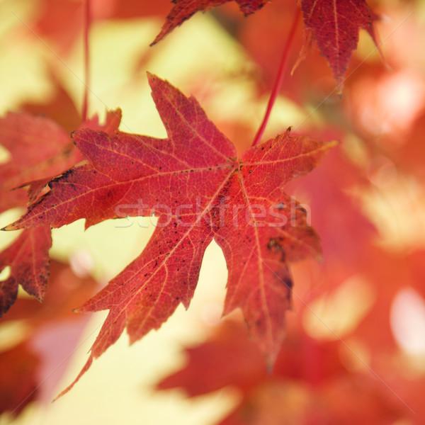 赤 秋 カエデの葉 自然 ストックフォト © iofoto