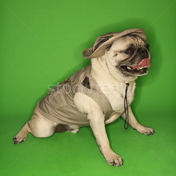 Cão safári verde cor estúdio Foto stock © iofoto