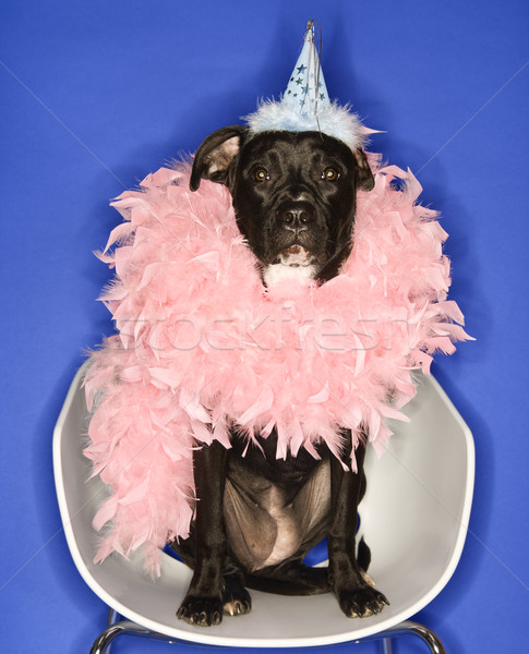 Dog in party hat and feather boa. Stock photo © iofoto