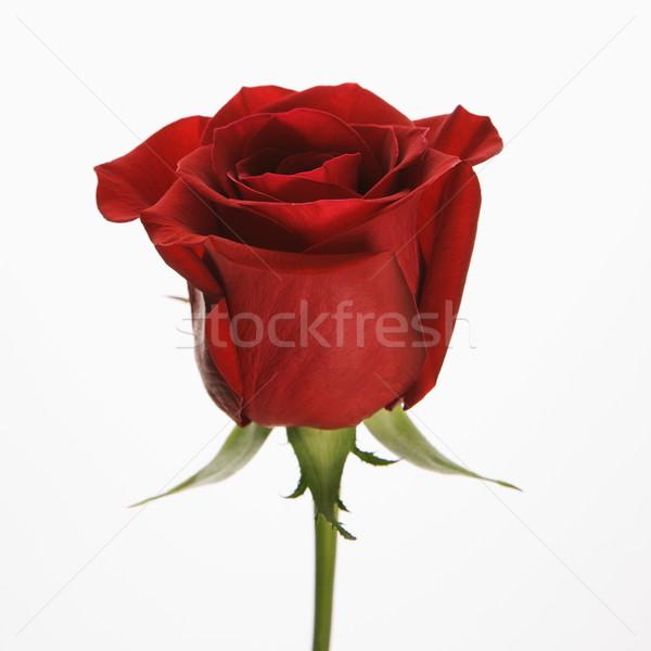 Red rose on white. Stock photo © iofoto