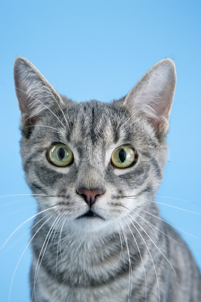 Portrait of gray striped cat. Stock photo © iofoto