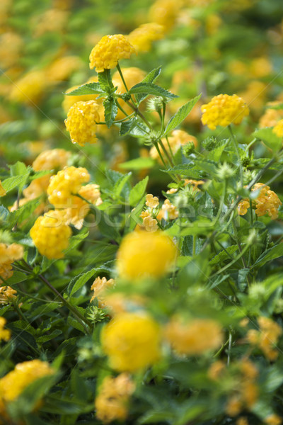 Yellow shrub Verbena. Stock photo © iofoto