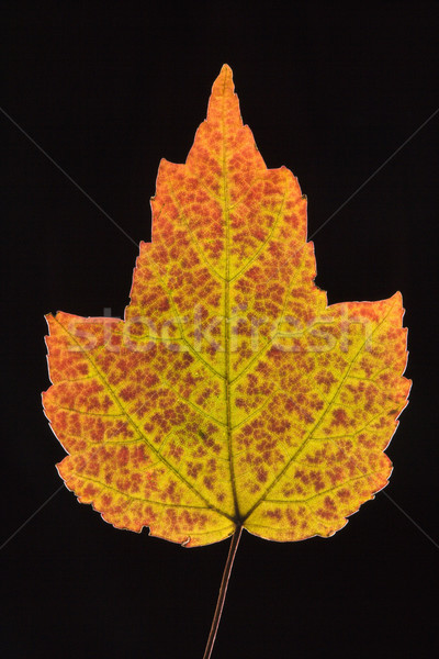 Maple leaf in Fall color. Stock photo © iofoto
