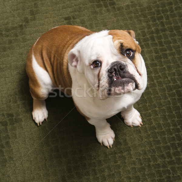 English bulldog. Stock photo © iofoto