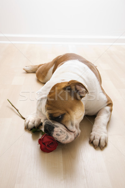 Dog sniffing red rose. Stock photo © iofoto