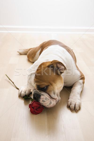 Dog sniffing red rose. Stock photo © iofoto