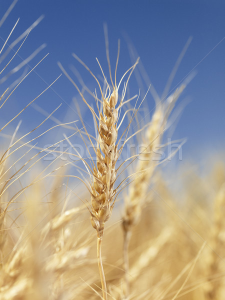 Stock photo: Close up of wheat.