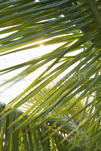 Close up of palm frond. Stock photo © iofoto