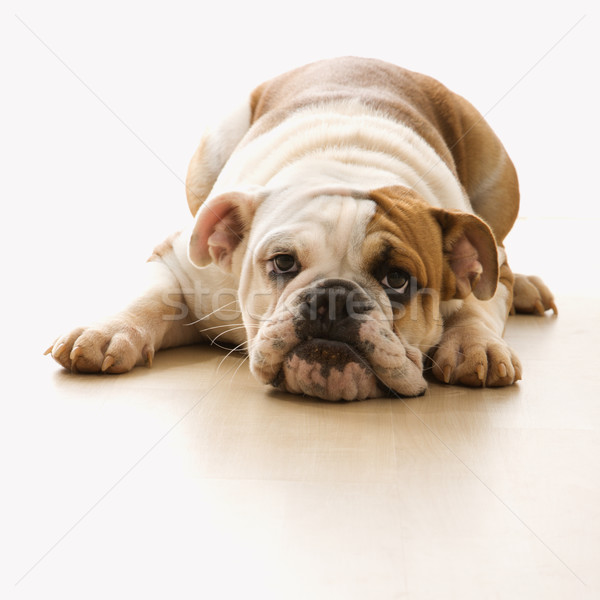 Bulldog lying on floor. Stock photo © iofoto