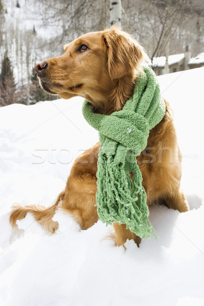 Dog in snow. Stock photo © iofoto