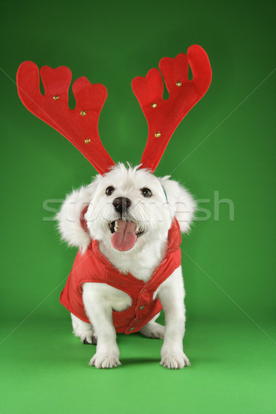 White terrier dog wearing antlers. Stock photo © iofoto