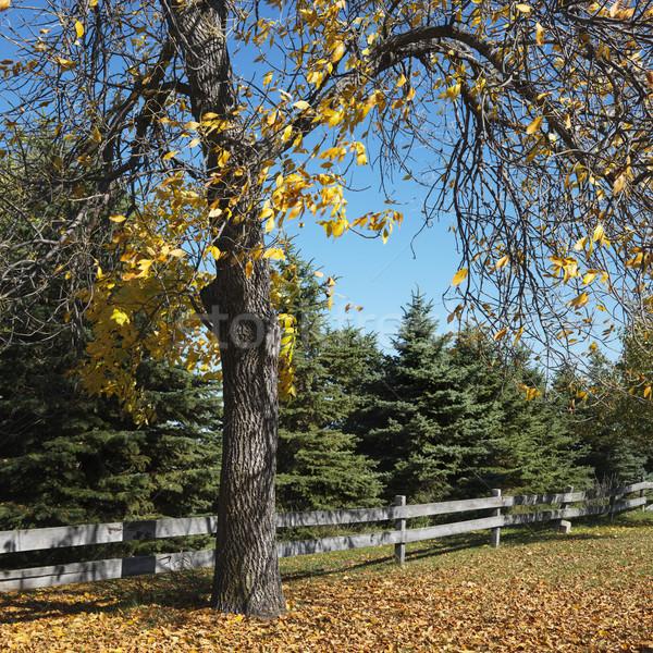 American Beech tree. Stock photo © iofoto