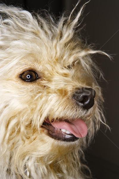 Cute mista razza cane ritratto sorridere Foto d'archivio © iofoto