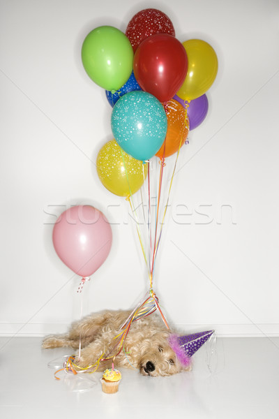 Dog passed out at party. Stock photo © iofoto