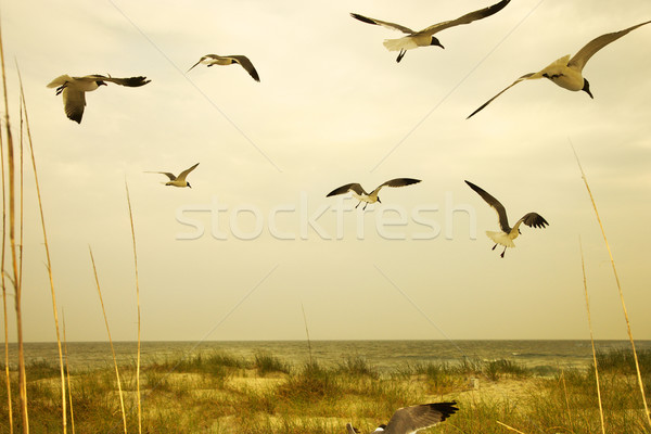 Stock photo: Seagulls flying over beach.