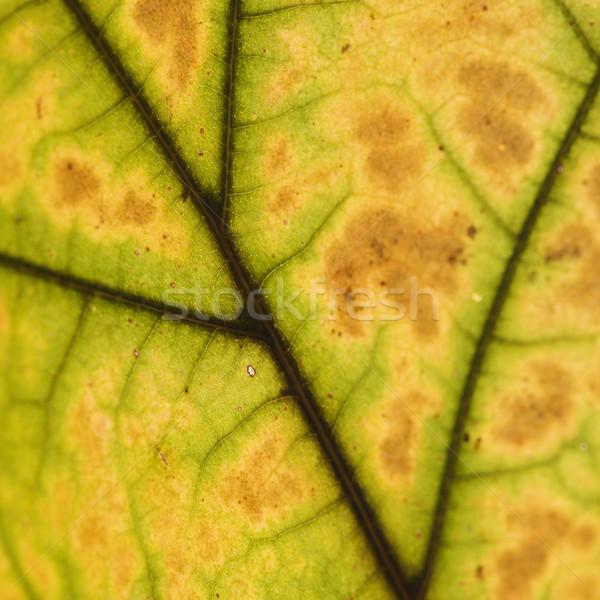 Blad aderen suiker esdoornblad herfstkleuren Stockfoto © iofoto
