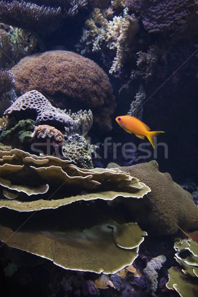 Sósvízi hal korall úszik körül akvárium Stock fotó © iofoto
