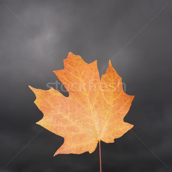 Maple leaf laranja folha folhas praça ninguém Foto stock © iofoto