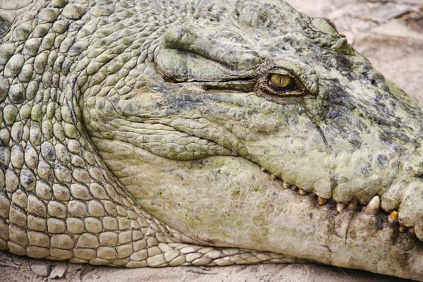 Crocodile head. Stock photo © iofoto