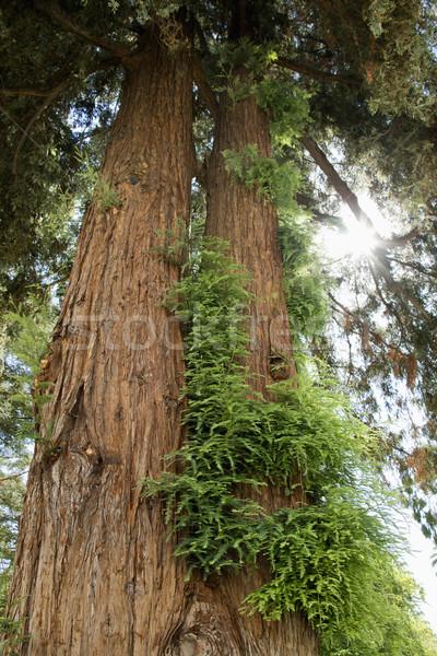 Sekwoja wzrostu California drzewo kolor Zdjęcia stock © iofoto