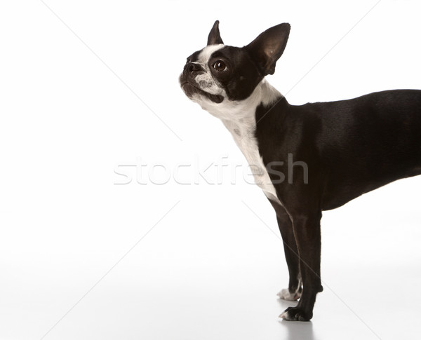 Foto stock: Boston · terrier · perro · pelo · retrato · color