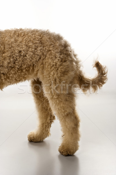 Goldendoodle dog hindquarters. Stock photo © iofoto