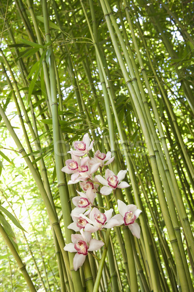Orchideák bambusz alulról fotózva kilátás rózsaszín zöld Stock fotó © iofoto