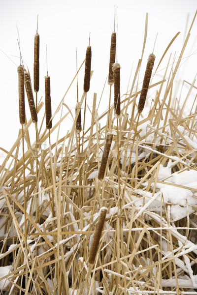 Cattail plants in snow. Stock photo © iofoto