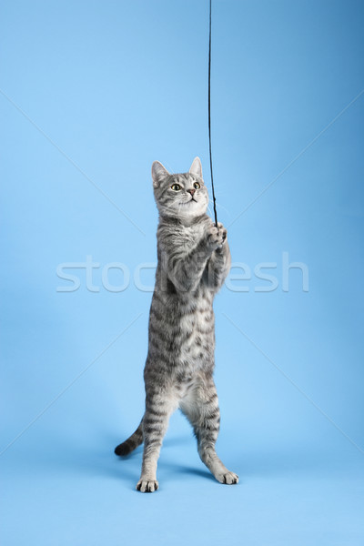 Cat playing with string. Stock photo © iofoto