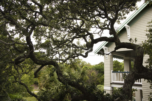 House with live oak tree. Stock photo © iofoto