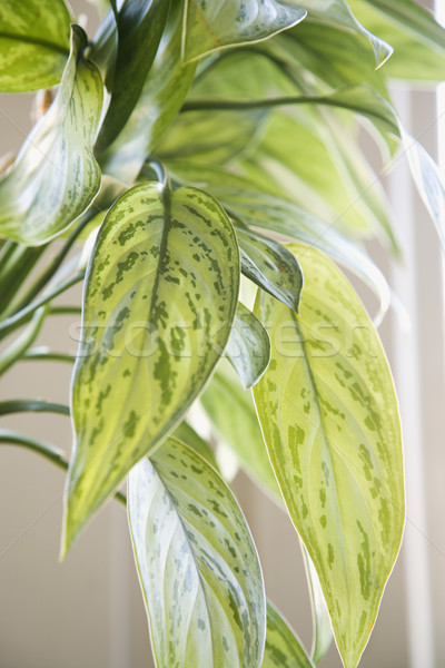 Houseplant. Stock photo © iofoto