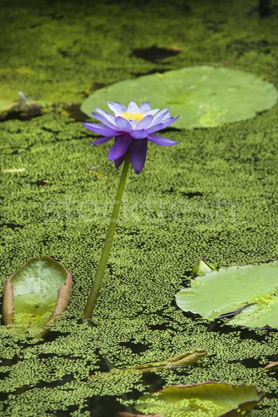 Water lily. Stock photo © iofoto