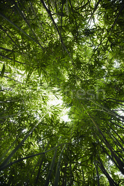 Bamboo forest. Stock photo © iofoto