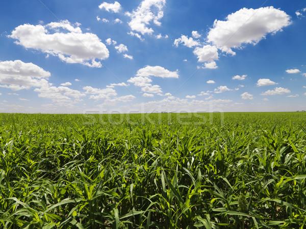 Grünen Kornfeld blauer Himmel groß Bereich jungen Stock foto © iofoto