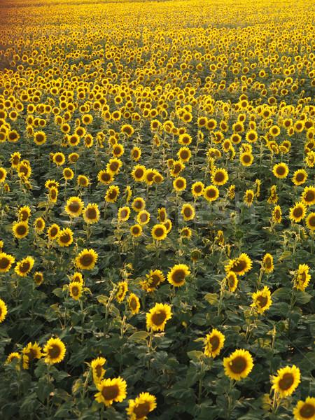 Sunflower field. Stock photo © iofoto