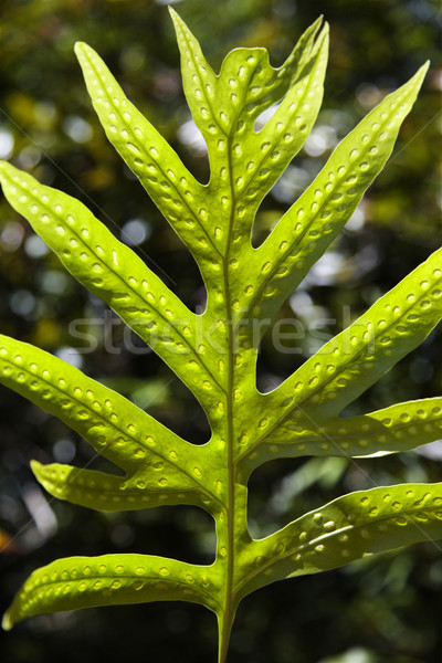 Liriope Fern leaf in Maui. Stock photo © iofoto