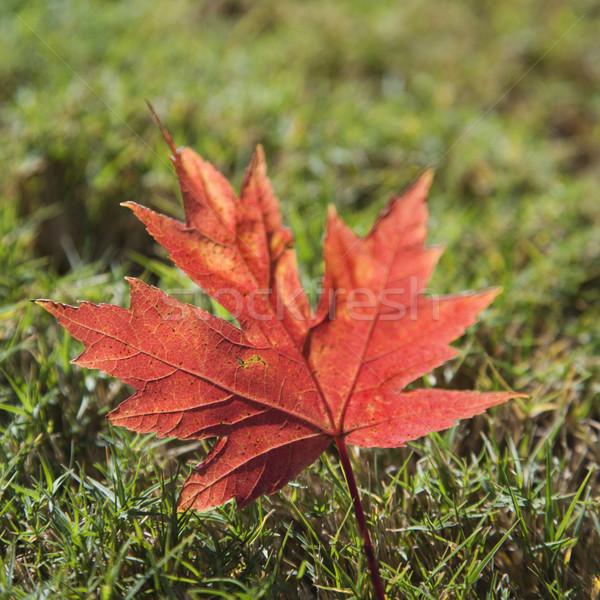 赤 秋 カエデの葉 草 ストックフォト © iofoto