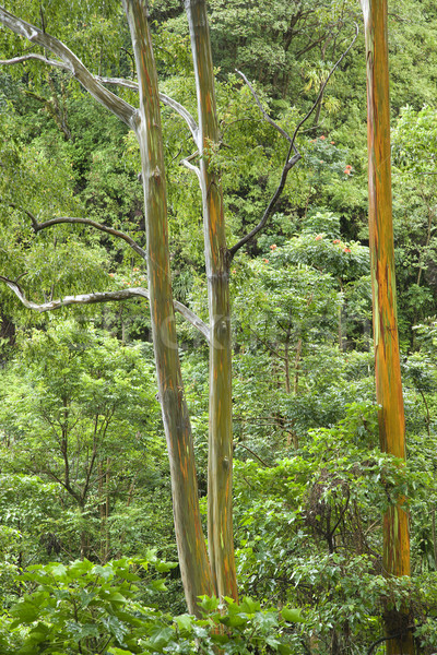 Rainbow Eucalyptus trees in Maui. Stock photo © iofoto