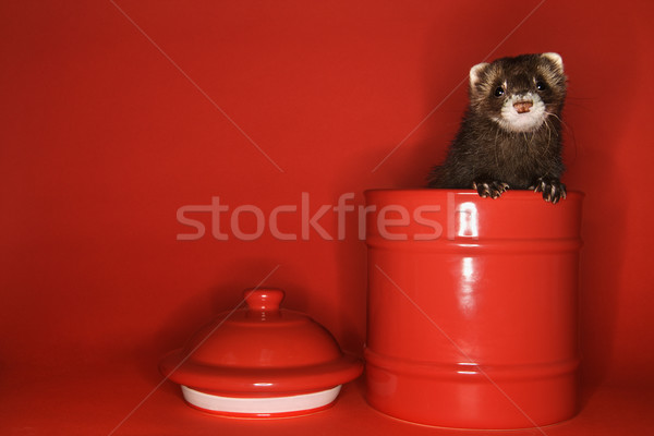 Ferret peeking out of jar. Stock photo © iofoto