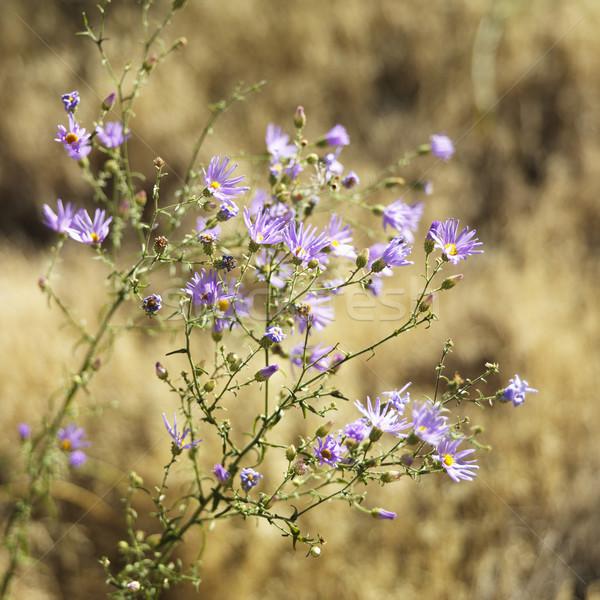 Полевые цветы парка Юта области цветы цвета Сток-фото © iofoto