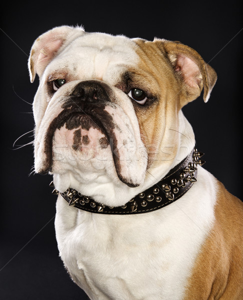 Bulldog wearing spike collar. Stock photo © iofoto