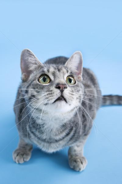 Imádnivaló szürke csíkos macska guggol magasról fotózva Stock fotó © iofoto