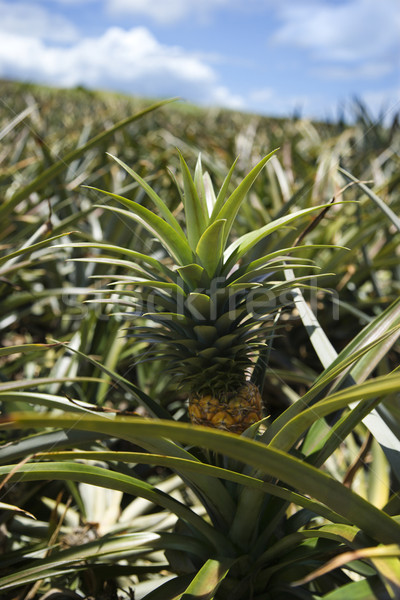 Ananas Hawaii usine fruits couleur Photo stock © iofoto