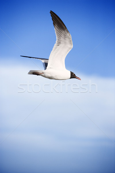 Black-headed gull in flight. Stock photo © iofoto