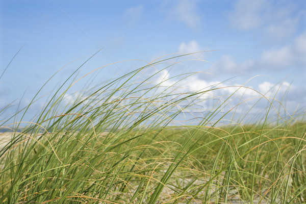 Beach grass swaying with the wind. Stock photo © iofoto