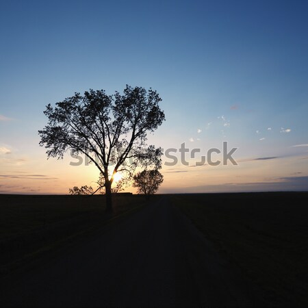 Lone tree at sunset. Stock photo © iofoto