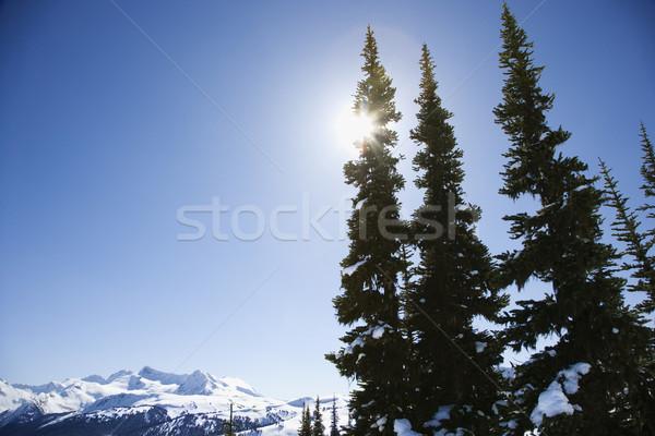 Berg Kiefer Bäume Schnee Reise Berge Stock foto © iofoto
